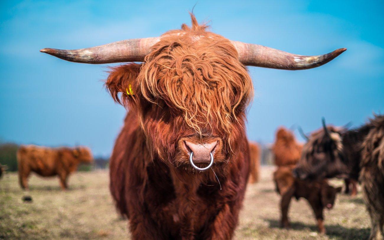 Apie highland veislę