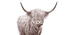 Highland grynaveislės karvės